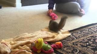 House pet squirrel