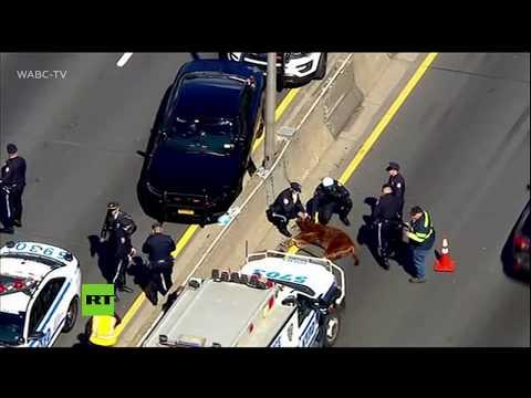 Una vaca obliga a paralizar el tráfico en una autopista de Nueva York
