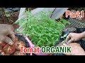 Begini Cara Menanam Tomat Organik Di Pekarangan Dengan Polybag Part 1