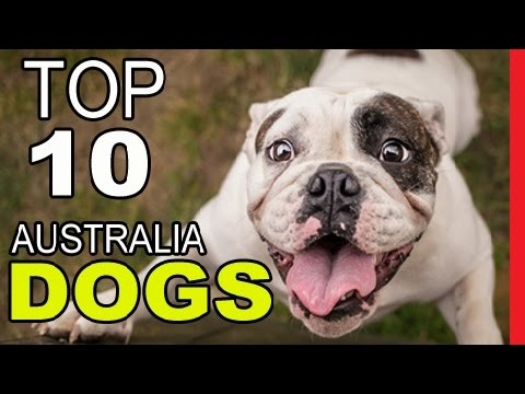 Top 10 From Australia Dog Breeds