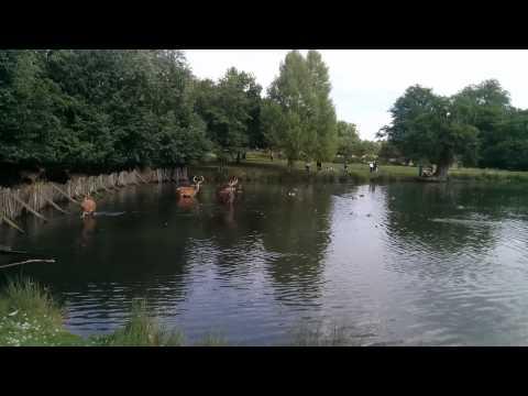 Deer in a pond at Richmond Park.