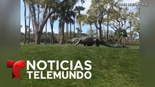 Enorme cocodrilo invade campo de golf en Carolina del Sur | Noticiero | Noticias Telemundo