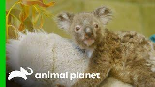 Raising an Orphaned Koala Joey (Part 2) | The Zoo: San Diego