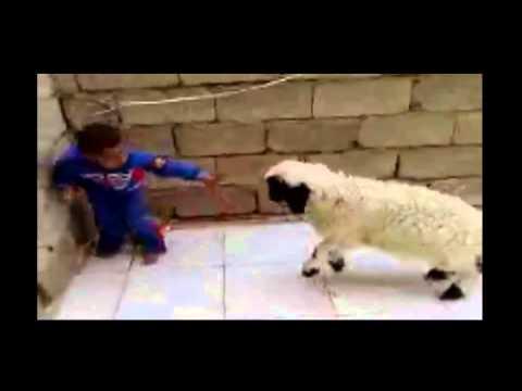 Lucu Anak Kecil Berantam Vs Ayam Jago Youtube Music Lyrics