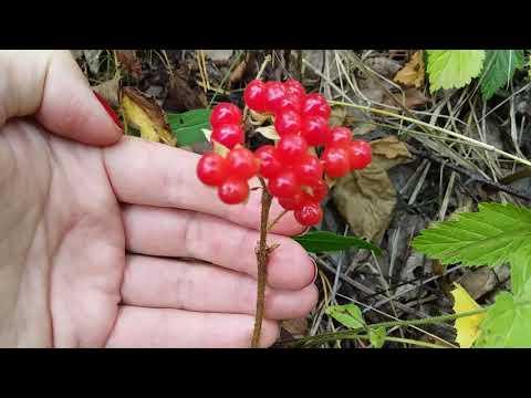 Вопрос: Костяника, что за ягода?