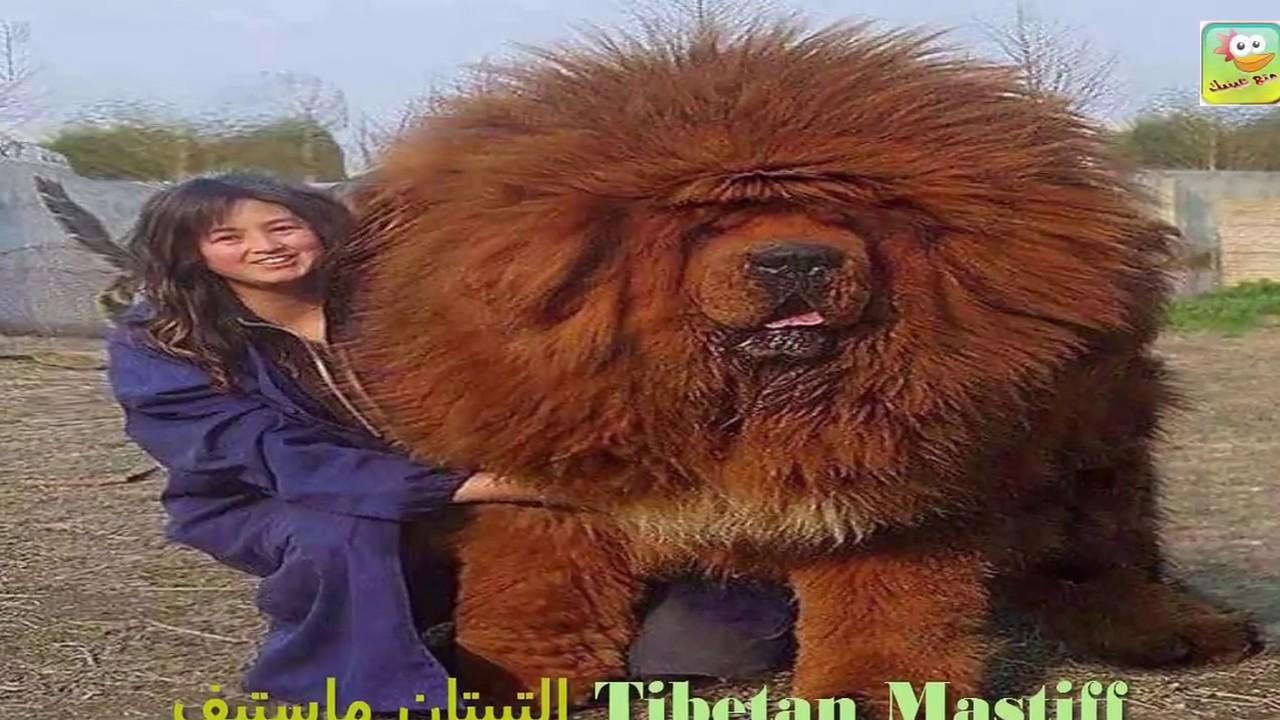 Watch tibetan dog movie : Hot gossips of tollywood actress