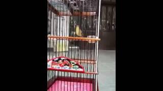 cara supaya burung pleci gacor