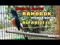 Murai Batu Bahorok Habis Mabung Gacor Alfarizi   Mp3 - Mp4 Download