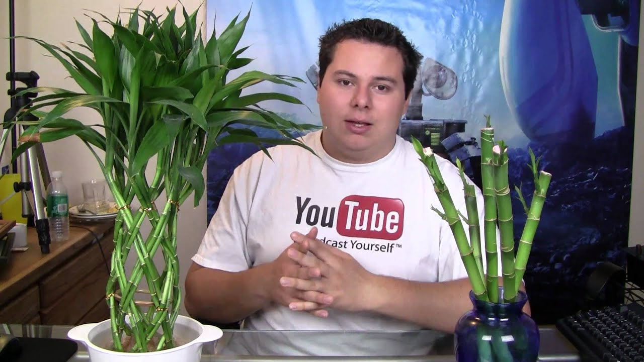 Lucky Bamboo A Healthy Root System Youtube