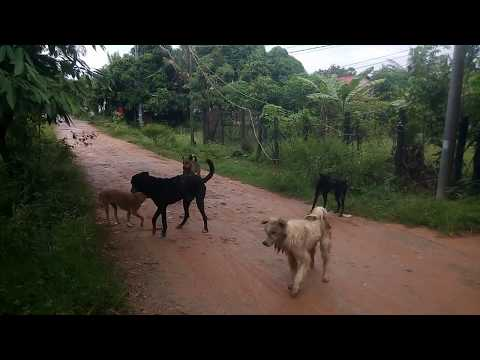 Awesome Sweet Rural Dogs In Village!! Troop of Duberman And Golden Labrador