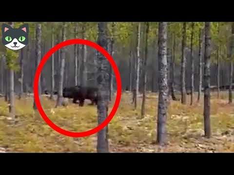 5 HOMBRES LOBOS CAPTADOS EN VIDEO - Hombres Lobos Vistos En La Vida Real