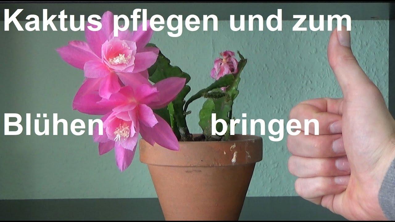 Blattkaktus Epiphyllum Pflegen Kaktus Zum Bluhen Bringen Youtube