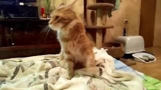 Кошка мейн-кун приносит игрушку как собака