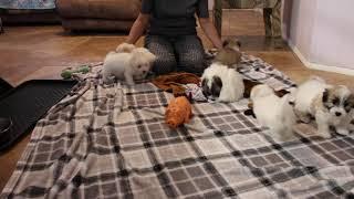 Coton Puppies For Sale - Vivian 8/17/21