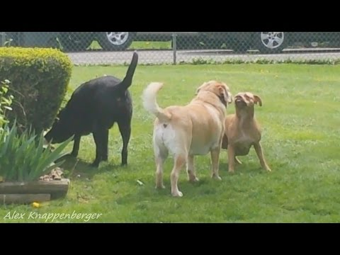 American Pit Bull Terrier Confronts Labrador Retrievers