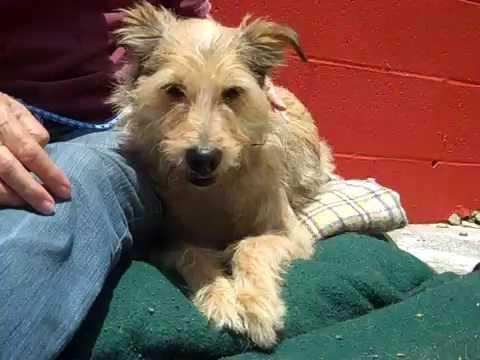 A4952499 Chrissy   Lakeland Terrier