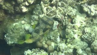 Чернопятнистая рыба еж