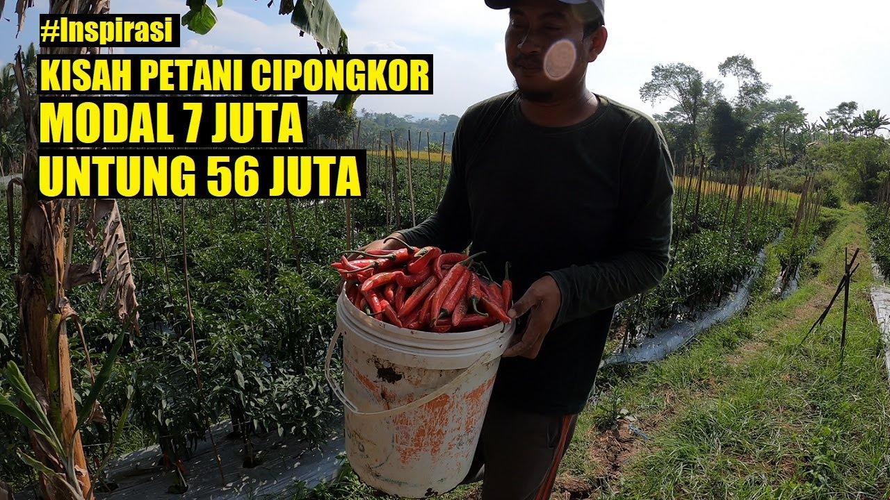 Download Kisah Sukses Petani Cabai CIPONGKOR, Modal 7 juta Untung 56 juta | Inspirasi Bisnis & Peluang Usaha