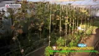 как #выращивать #помидоры в теплице(Помидоры в теплице монастыря растут большие и очень вкусные. Есть и черный принц, и есть те, которых я даже..., 2014-10-05T07:00:04.000Z)
