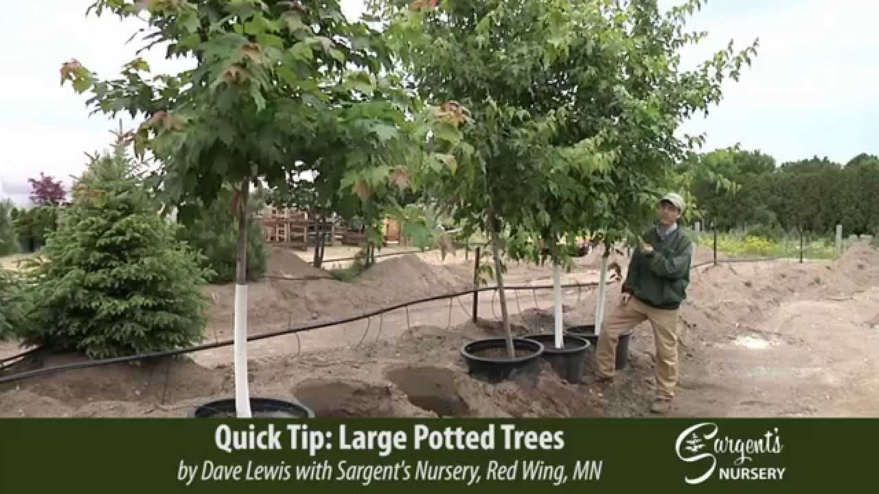 Large Potted Trees Sargent S Nursery Inc