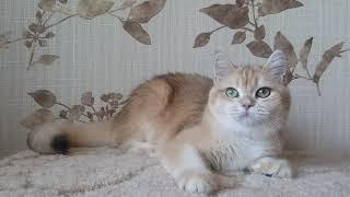 Кошечка окрас- золотая шиншилла.