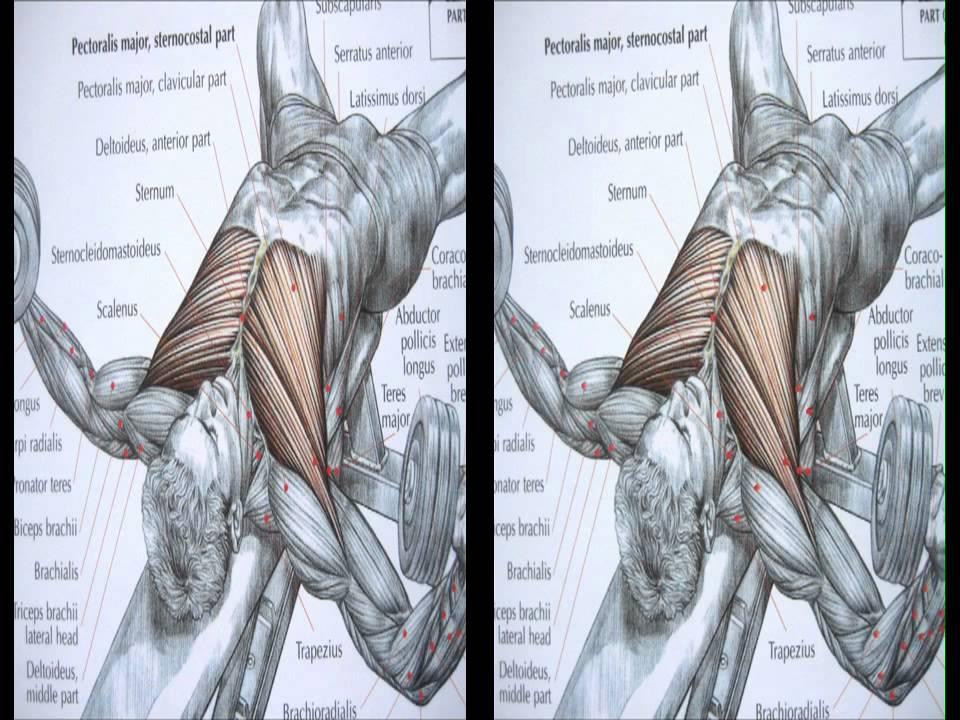 Bodybuilding chest exercise and anatomy - YouTube