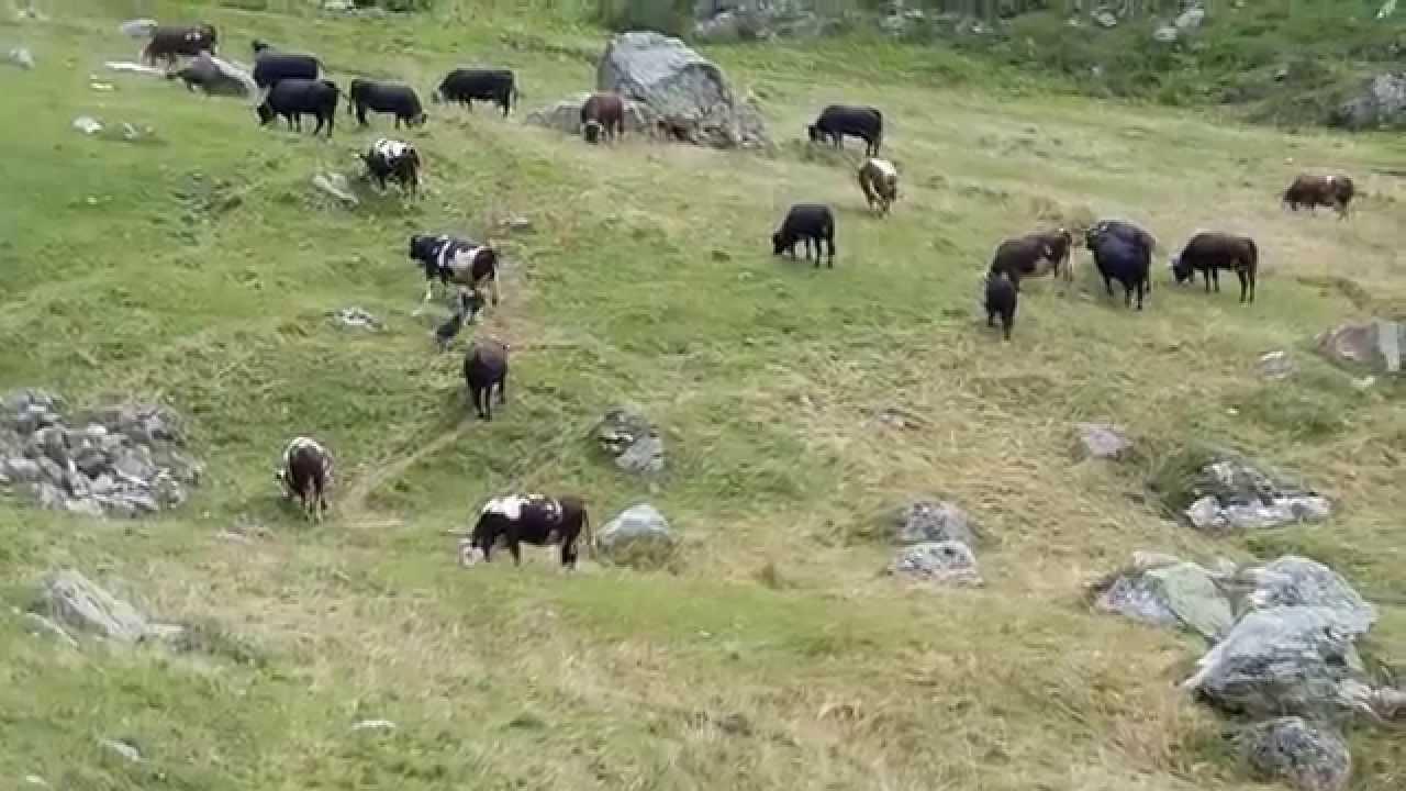 cani pastore al lavoroval d aosta settembre 2015 - youtube