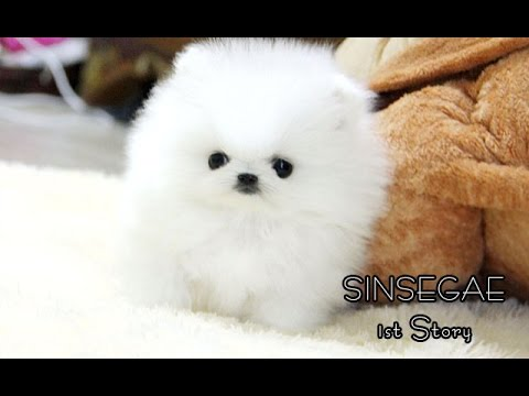 White Pomeranian Dog Puppies