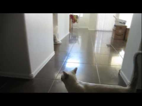 Tonkinese Cat Plays Fetch w/ Play-N-Squeak Mouse (HD)