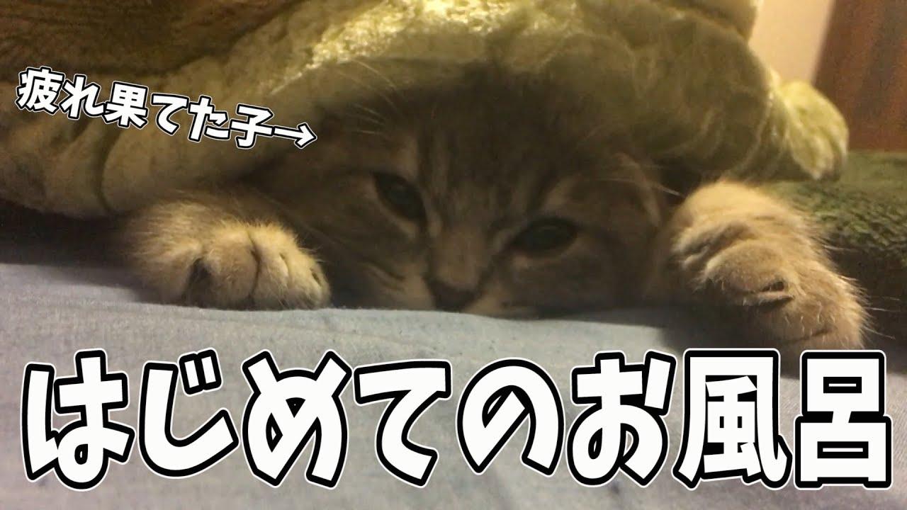 はじめてのお風呂で疲れ果てた子猫がかわいい【スコティッシュフォールド】
