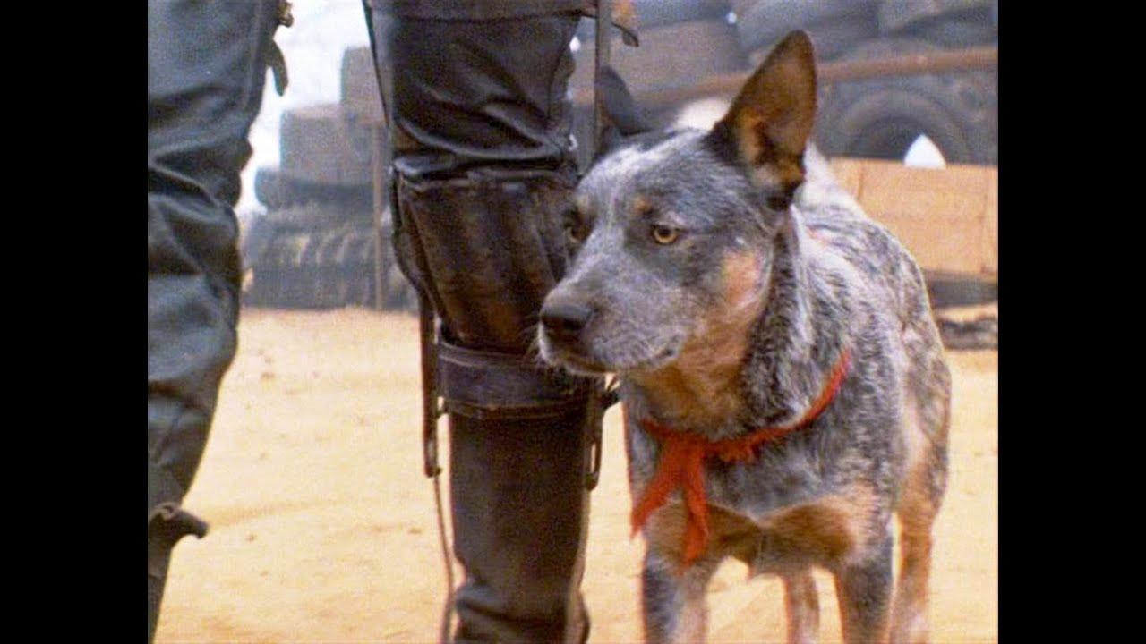 pastor ganadero australiano el perro de mad max