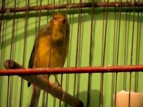 musica gratis de canario do reino