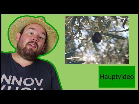 wissenswertes-über-olivenbäumchen-|-flol