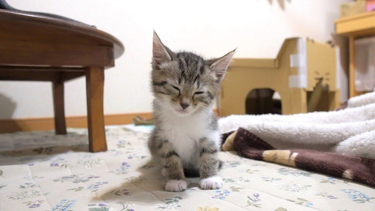 【生後46日】まだ遊ぶもん…一生懸命眠気と戦う子猫がかわいい