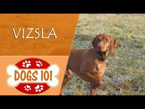 Dogs 101 -  VIZSLA - Top Dog Facts About the  VIZSLA