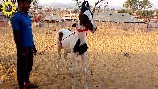 horse Marwari  Pushkar fair 2017 (horse) videography