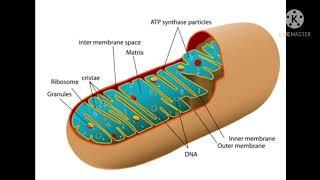 Class 9 Mitocondria 1