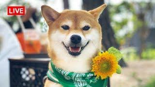 [LIVE] 밤에도 신나게 노는 강아지 힐링하는 방송 (시바견 곰이탱이여우)
