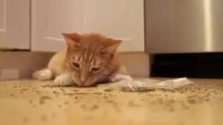 Кот наркоман - горе в семье, угар , смотреть всем!