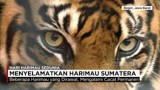 Berjuang Menyelamatkan Harimau Sumatera