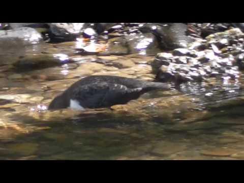 Birdlife - Dipper #2 Denbigh Denbighshire North Wales