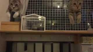 iPhoneに飛び込む猫のシンクロジャンプ、その瞬間をスローモーションで