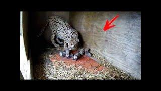 Un cachorro de perro fue arrojado en la jaula de un guepardo ... Y esto es lo que pasó después ...