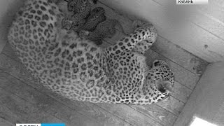 Котятам сочинских леопардов сделают первые прививки