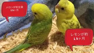 セキセイインコの雛のレモンとメロンが新しい家族なりました!チワワと...