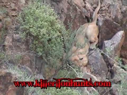 Mountain Lion Hiding In The Rocks