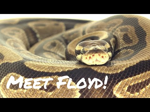 Animal Moments - Floyd the Ball Python