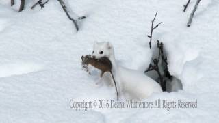 Long-tailed Weasel, Winter Phase with prey