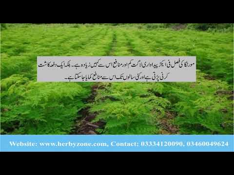 Moringa cultivation in Pakistan by Herbyzone Pvt Ltd. 03334120090,03460049624