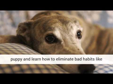 Greyhound - Free Online Seminars and Free Training Course on Greyhound Puppies